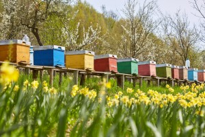 A row of bee hives among a field of flowers bordering an orchard